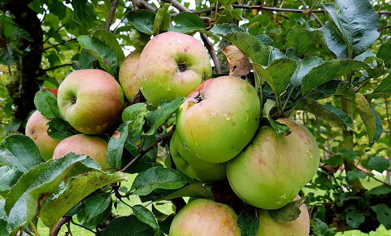 Obsternte nur auf der Obstbaumleiter – Haushaltsleitern sind riskant