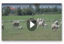 Schützer der Schafe: Herdenschutzhunde im Einsatz