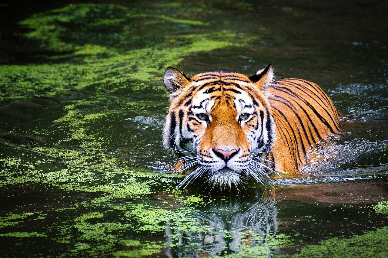 Globaler Tigerschmuggel floriert