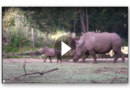 Süßes Tiervideo: Nashorn-Baby nimmt es mit allen auf
