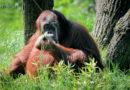 Nach Gerichtsurteil um Personenrechte: In Rostock geborene Orang-Utan-Dame Sandra endlich aus argentinischem Zoo befreit