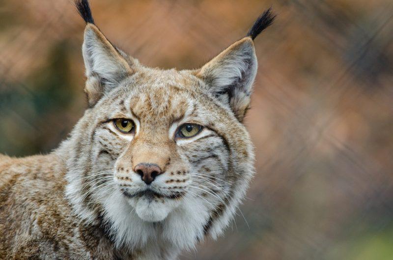 Schuldspruch gegen Luchs-Wilderer
