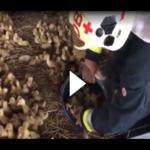 Hier rettet die Feuerwehr 25.000 Entenküken!