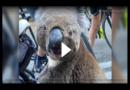 Herzzerreißende Aufnahmen! Radfahrer rettet Koala vor dem Verdursten