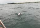 NABU: Bedrohter Ostseeschweinswal steht stellvertretend für verfehlte Meerespolitik