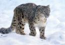 NABU greift Schneeleoparden mit schweren Schussverletzungen in Kirgistan auf