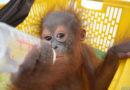 Erstes Orang-Utan-Baby 2020 gerettet: Einjährige Waise einen Monat in Holzverschlag gefangen gehalten