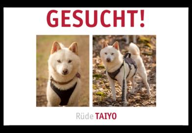 Shiba Inu (Hund) in Felsberg entlaufen