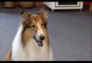 Comeback einer Filmlegende: Lassie kommt zurück ins Kino
