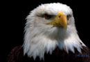 Die Greifvögel fliegen wieder im Tierpark Sababurg