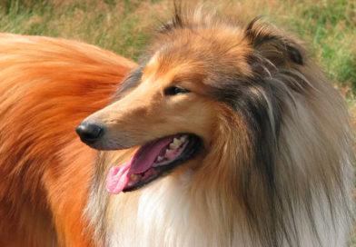 """""""Lassie"""" startet im Kino: Deutscher Tierschutzbund warnt vor unüberlegter Anschaffung von Collies"""