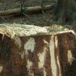 Holzmafia in Rumänien: Tödliche Gewalt und illegale Abholzung de