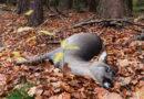 Achtung Wildwechsel! – Gefahr von Wildunfällen steigt