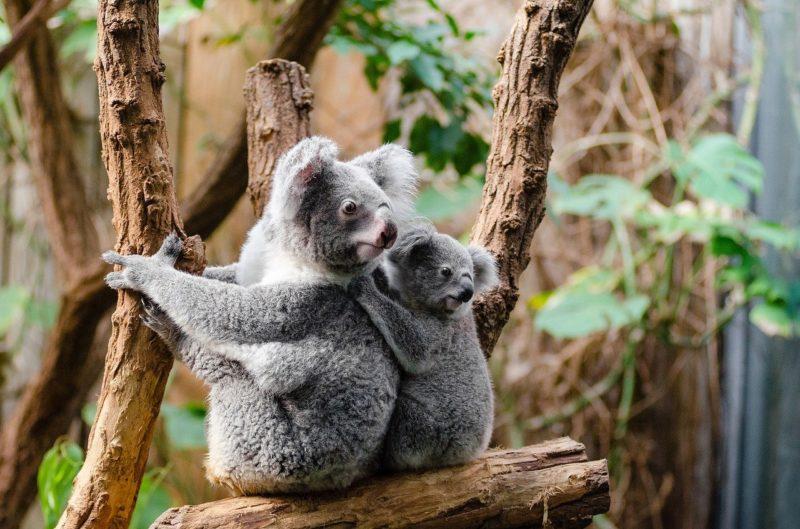 Tag des Artenschutzes: Koala, Eisbär, Mensch