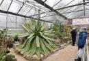 Die Agave im Botanischen Garten Kassel regt sich wieder!