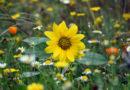Die neue Kasseler Blumenwiese kommt – für mehr Vielfalt in Parks und Gärten