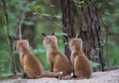 Wildtierschutz Deutschland e.V. – Jagdpresse jubelt, denn Jäger dürfen auch in Hessen wieder Fuchsbabys jagen