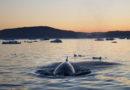 Rätselhaftes Pottwalsterben in Norwegen