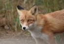 Fuchs im Garten – was nun? PETA-Expertin gibt Tipps für eine friedliche Koexistenz von Mensch und Tier und verrät tierfreundliche Vergrämungsmethoden