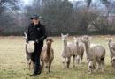 Tierisches Vergnügen: In Irland bietet ein Farmer seine Alpakas für virtuelle Touren und Video-Konferenzen an