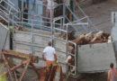 EU-Bericht enthüllt Missstände bei Tierexporten per Schiff – Tierschutzbund fordert Ende von Lebendtiertransporten