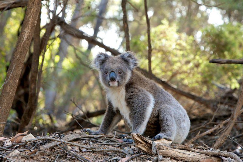 Flammenopfer: Koala Frankie wieder gesund