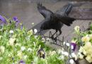 Berichte aus mehreren Städten: Darum greifen Krähen zurzeit Menschen an
