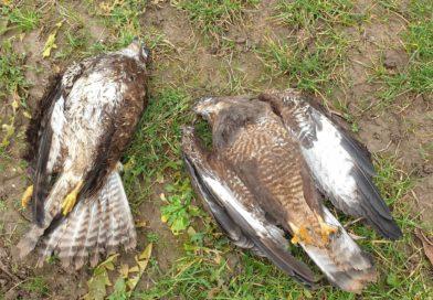 Greifvogel-Wilderei: Fälle illegaler Verfolgungen in Deutschland nehmen zu
